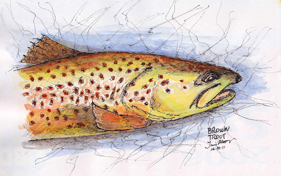 Sketch of a Brown Trout